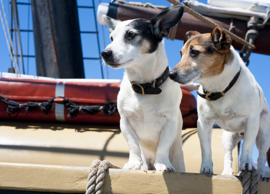Pip and Pogo, the Douglas family's seafaring Jack Russell Terriers. Photo Alison Shaw